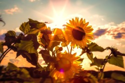 sun-flower-591076_640